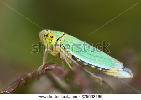 Leafhoppers Stock Photos, Royalty.