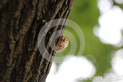 Cicadoidea, Cicadas Shell Hanging From Our Tree Stock Photo.