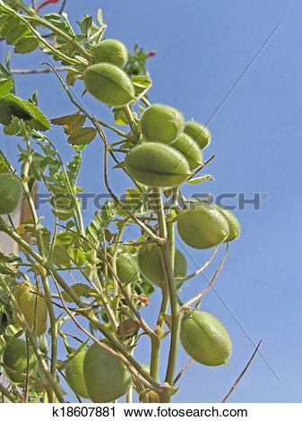 Stock Photography of Plant of Gram, Cicer Arietinum k18607881.