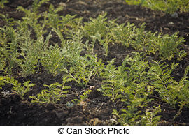 Stock Photos of Field of cicer arietinum l csp24680332.