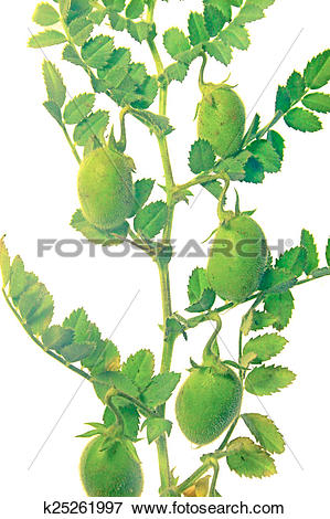 Picture of Plant with beans of cicer arietinum l k25261997.