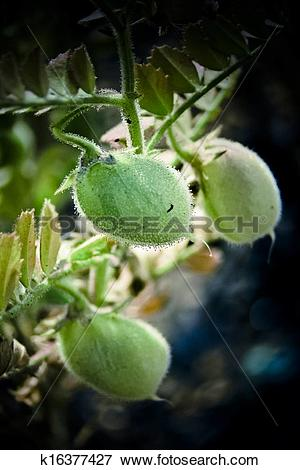 Picture of chickpea, Cicer arietinum k16377427.