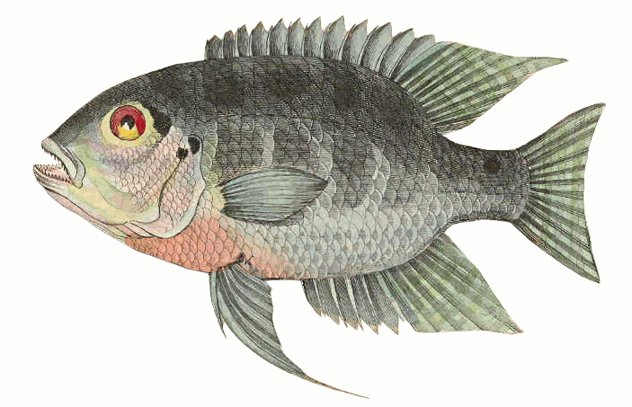 Cichlid clipart.
