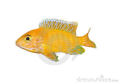 Cichlid Fish Stock Images.
