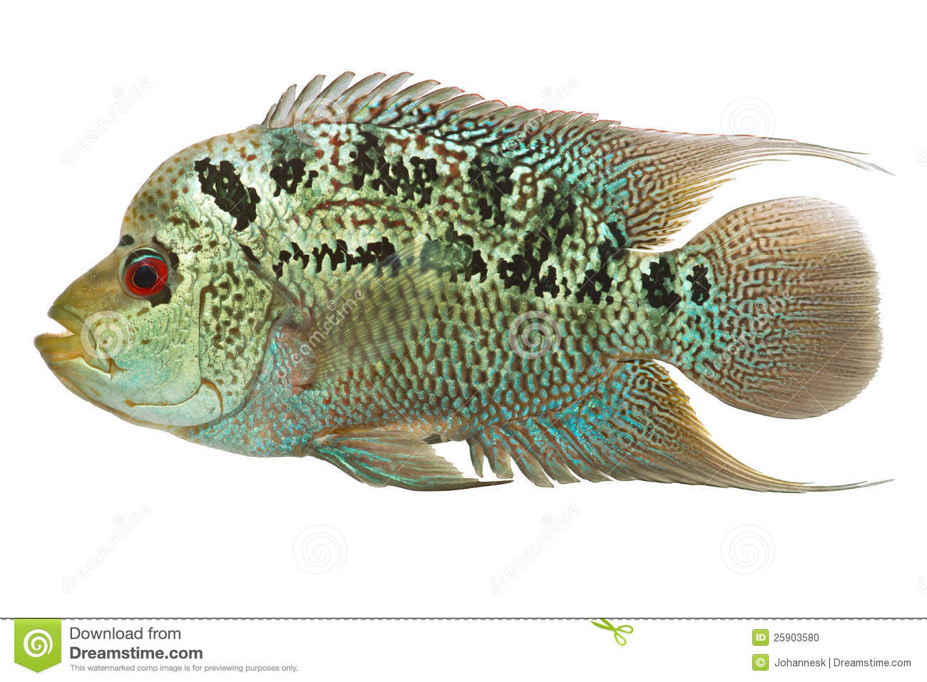Cichlid Fish Stock Photo.