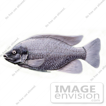 Clipart Image Illustration of a Tilapia Cichlid Fish.