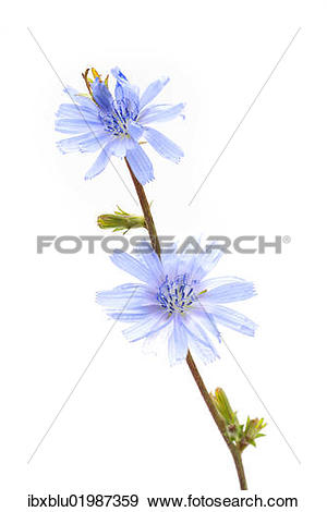 "Stock Photograph of ""Common Chicory (Cichorium intybus), medicinal."