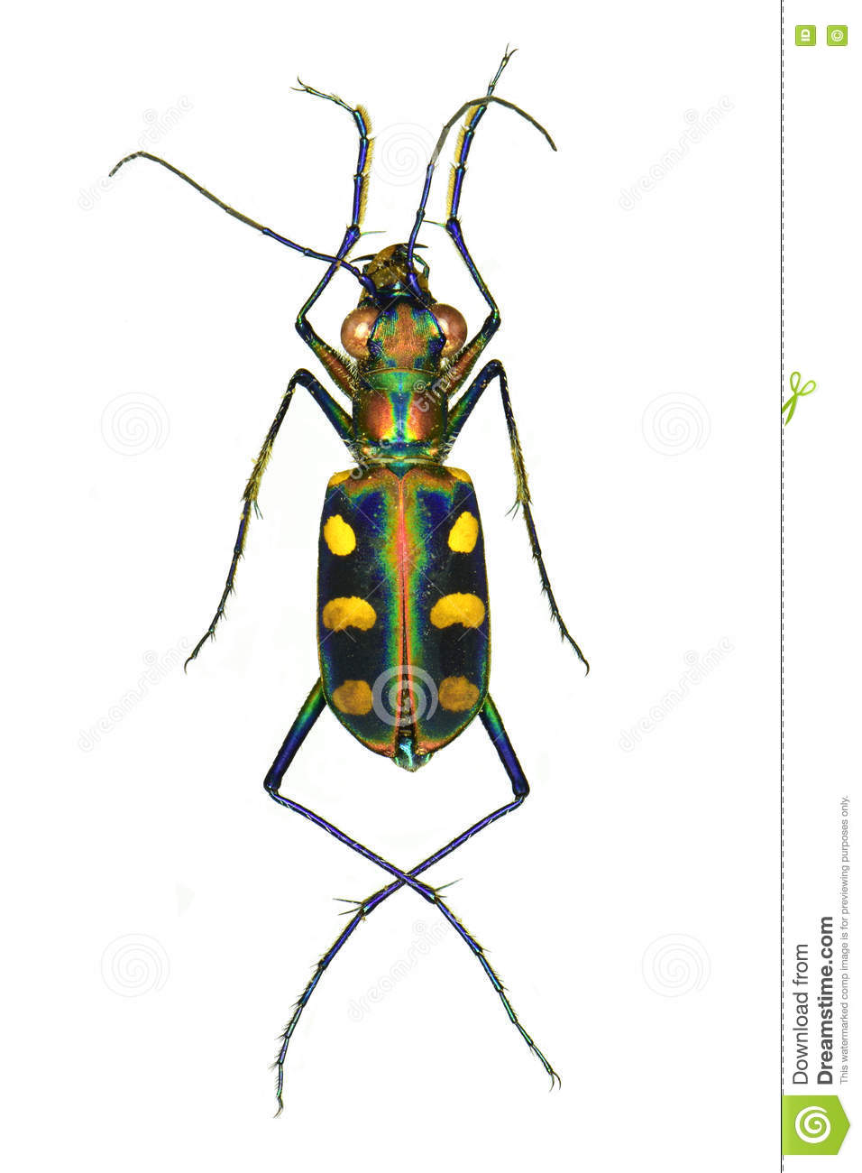 Golden Spotted Tiger Beetle Stock Photo.