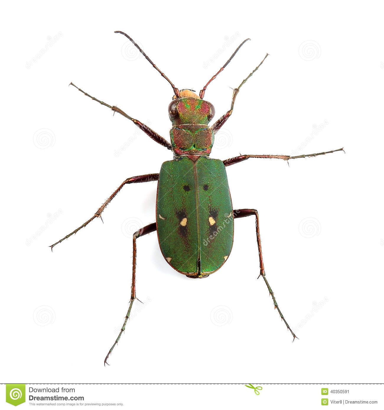 Green Tiger Beetle (Cicindela Campestris) Isolated On White Stock.