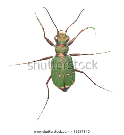 Tiger Beetle Stock Photos, Royalty.