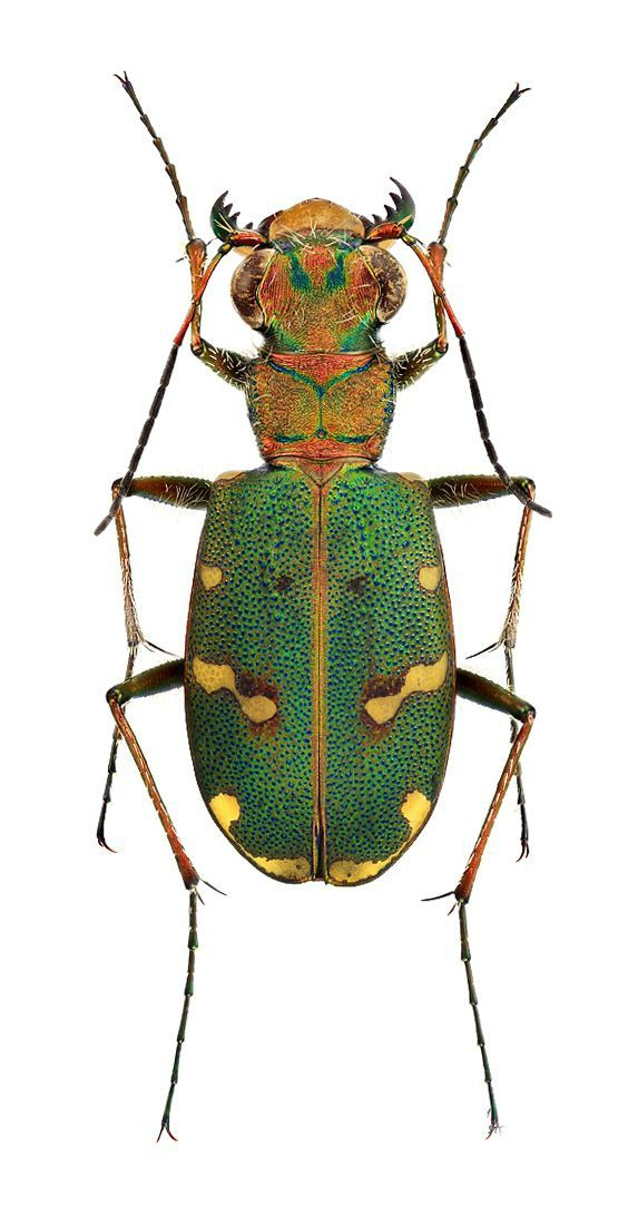 1000+ images about Cicindellidae.