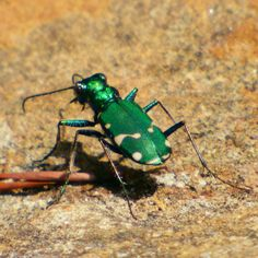 Pin by Adey Ehm on Bugaboos I: Coleoptera (etc.).