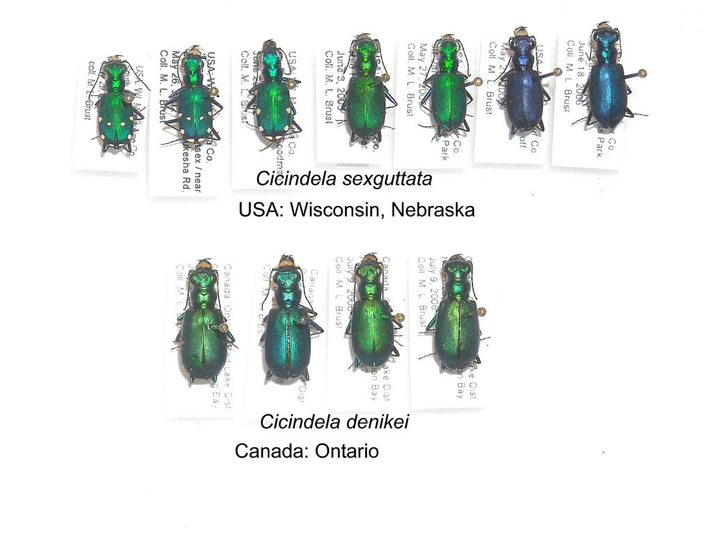 Cicindela sexguttata and C. denikei.