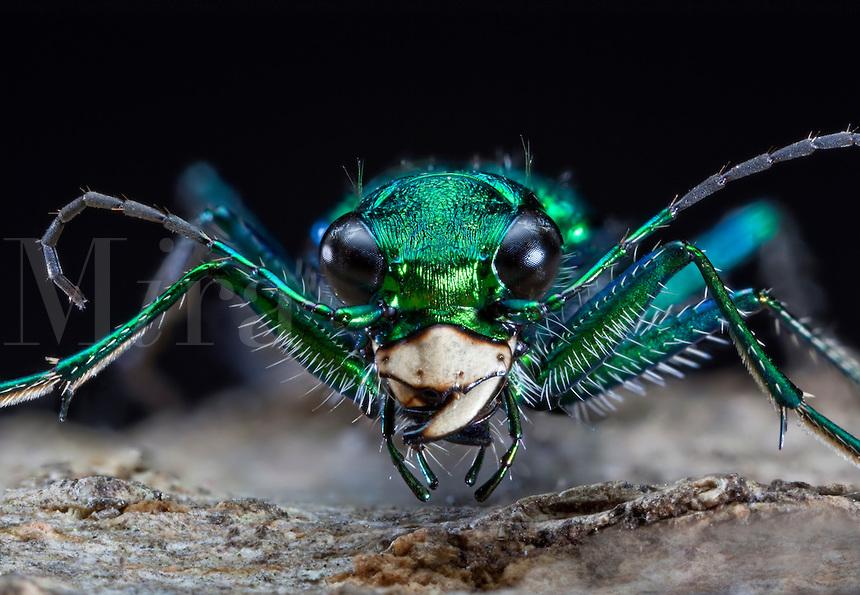 Tiger Beetle B.jpg.
