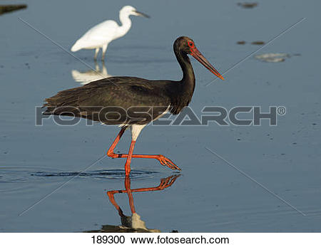Stock Photography of Black Stork (Ciconia nigra) foraging in.