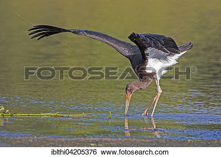 Stock Images of Black stork (Ciconia nigra), young bird foraging.
