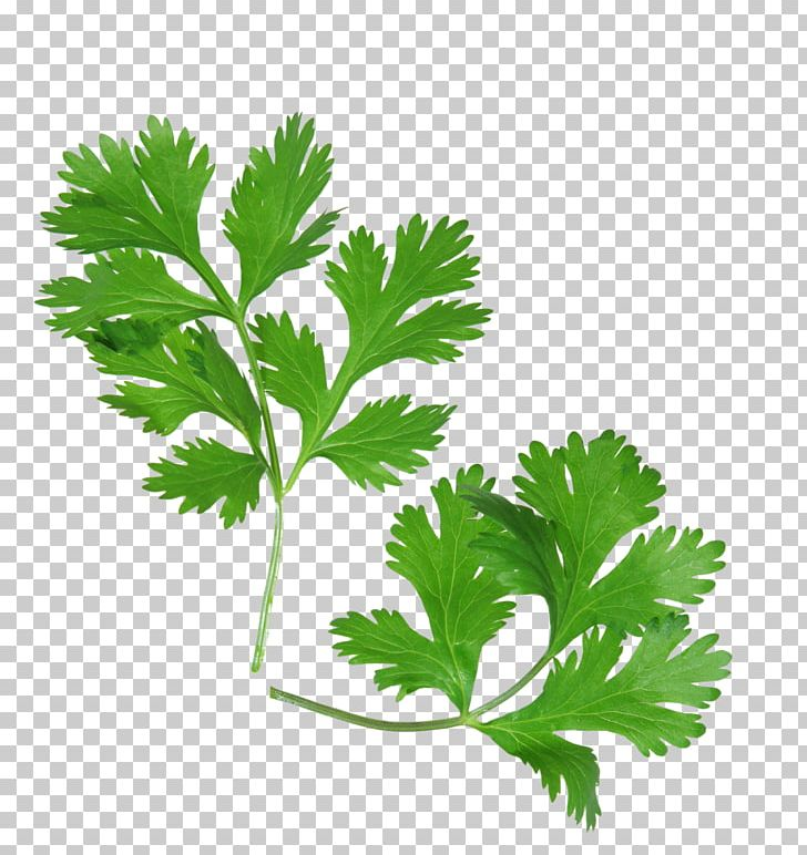 Coriander Health Mexican Cuisine Herb Parsley PNG, Clipart, Chervil.
