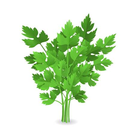 660 Cilantro Leaves Stock Vector Illustration And Royalty Free.