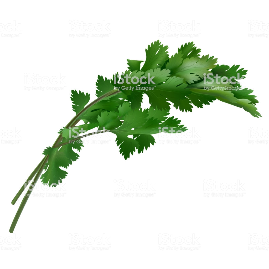 Cilantro On White Background Stock Illustration.