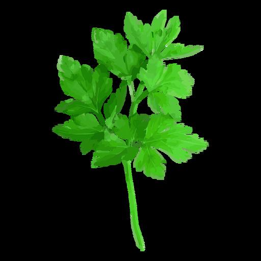 Cilantro coriander herb illustration.