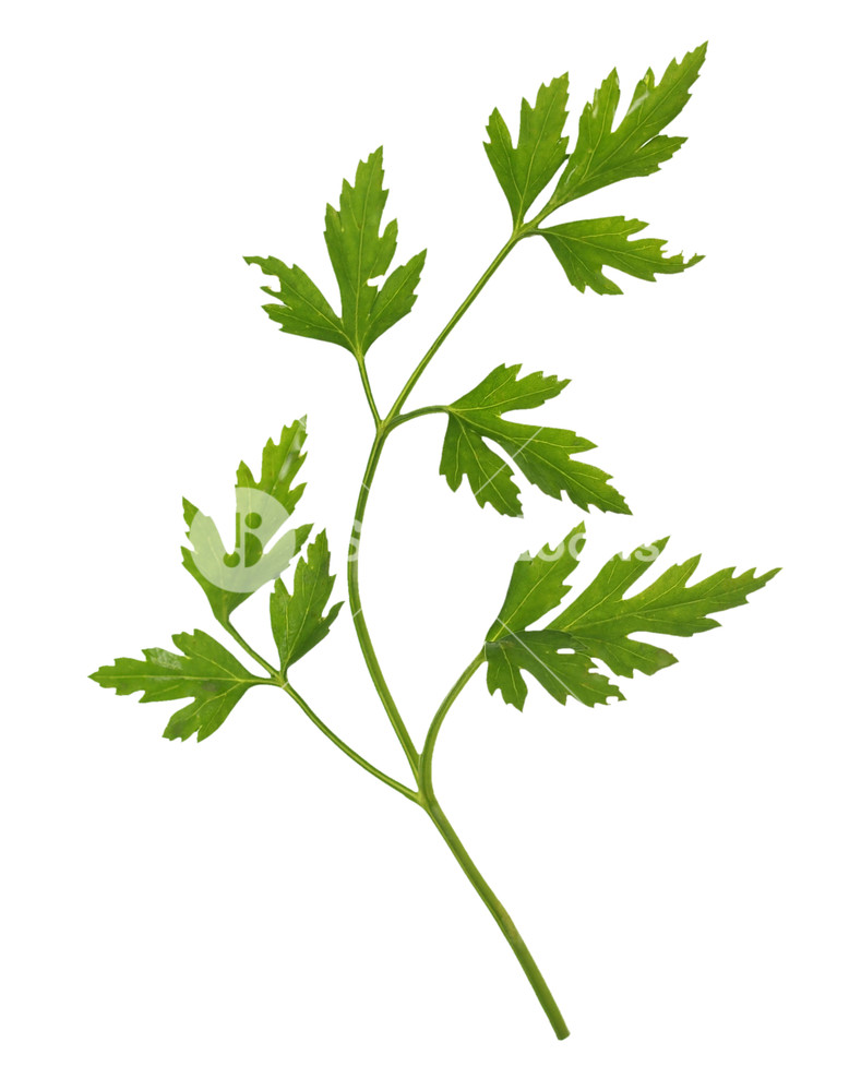 Parsley cilantro coriander plant spice isolated over transparent.
