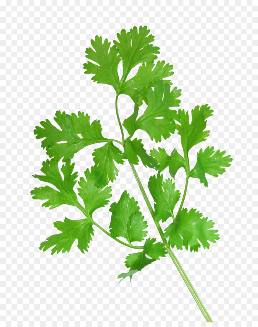 Cilantro Png (112+ images in Collection) Page 1.