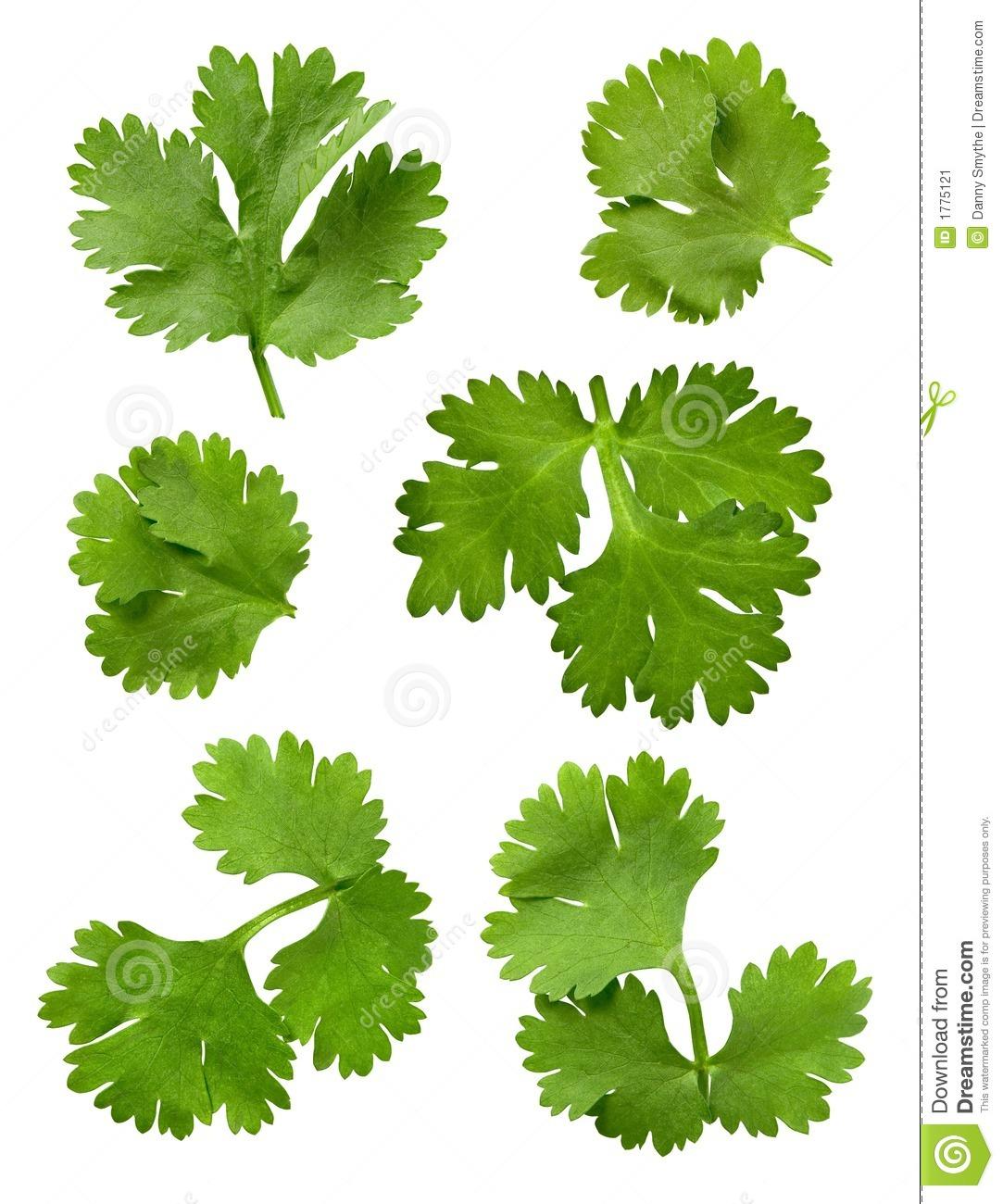 Cilantro (Parsley) stock image. Image of taste, vitamin.