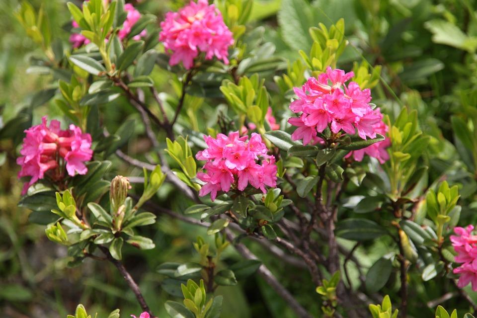 Free photo: Ciliated Alpenrose, Flower, Flowers.