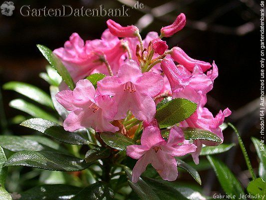 1000+ images about Alpine rose on Pinterest.