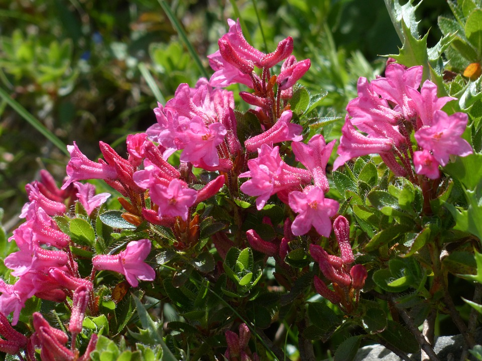 Free photo: Ciliated Alpenrose, Flowers.