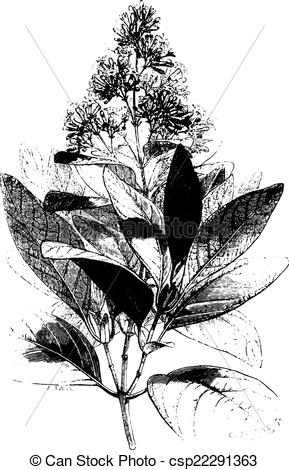 Clip Art Vector of Cinchona Calisaya, vintage engraving.