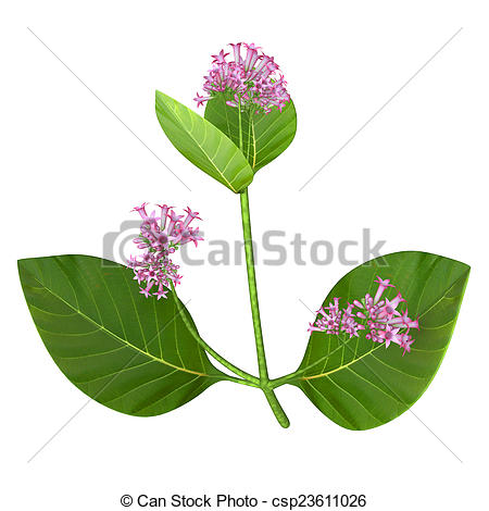 Clip Art of Cinchona, common name quina, is a genus of about 25.