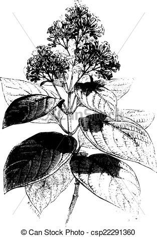 Clip Art Vector of Cinchona condaminea (flower), vintage engraving.