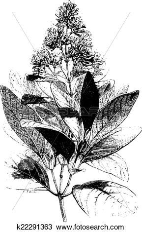 Clipart of Cinchona Calisaya, vintage engraving. k22291363.