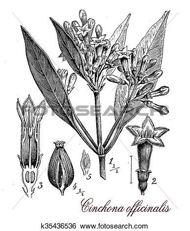 Stock Illustration of Cinchona officinalis, botanical vintage.