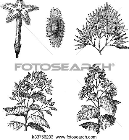 Clipart of Three different species of Cinchona plant vintage.