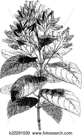 Clipart of Cinchona condaminea (fruit), vintage engraving.