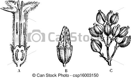Clipart Vector of Cinchona calisaya, vintage engraving..