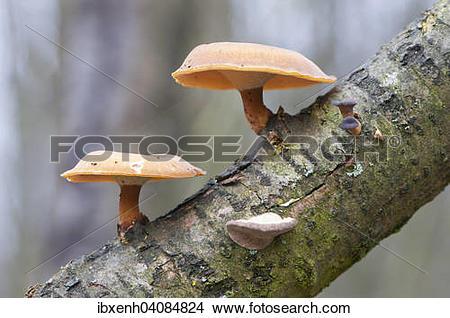 Stock Photo of Winter Polypore (Polyporus brumalis), Emsland.