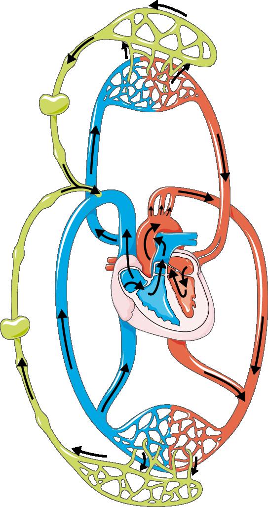 Lymphatic Circulation.