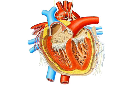 Circulatory System Clipart Free.