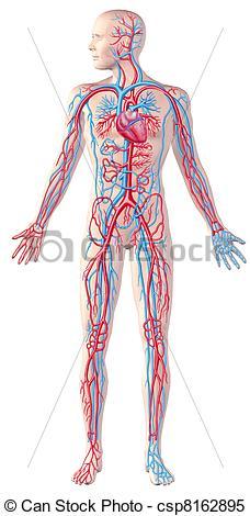 Stock Illustrations of Human circulatory system, full figure.
