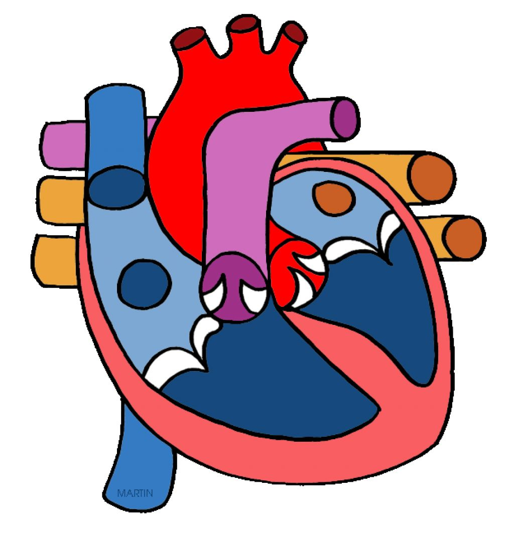 Circulatory system clipart.