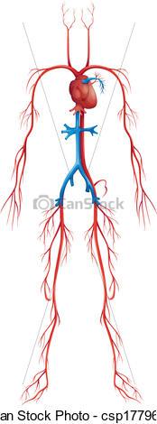 Clip Art Vector of Circulatory System.