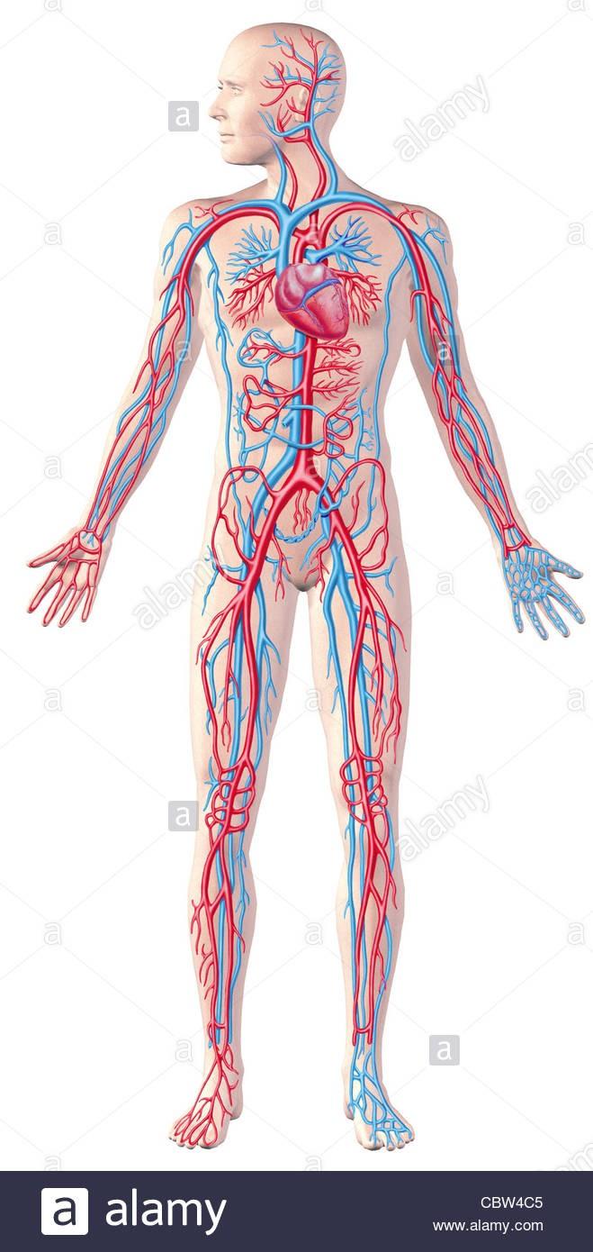 For Full Human Body Clipart Circulatory System Figure Cutaway.