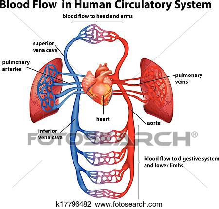 Blood flow in human circulatory system Clipart.