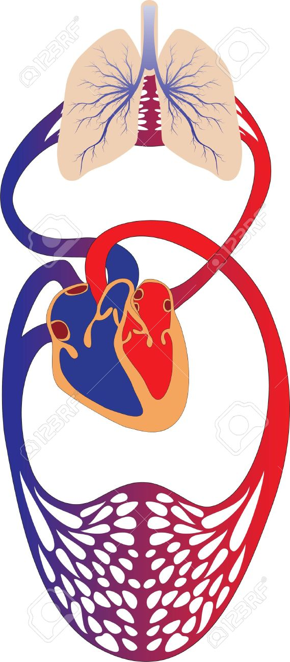Schematic representation of the human circulatory system.