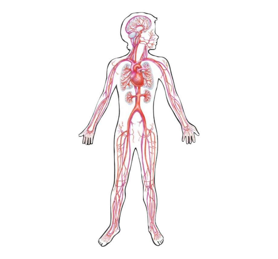 Circulatory System Png 3 » Png Image.