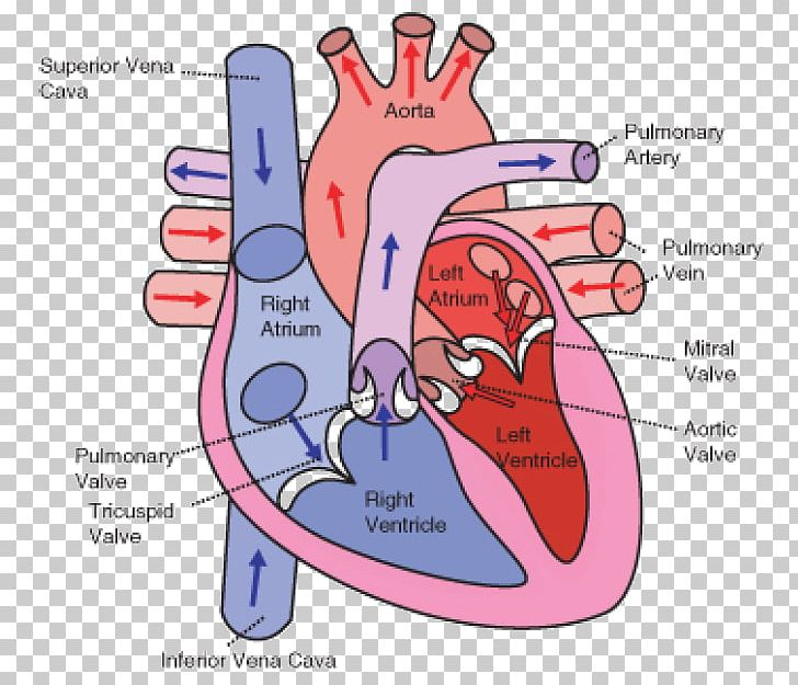 Wiring Diagram Heart Circulatory System Human Body PNG, Clipart.