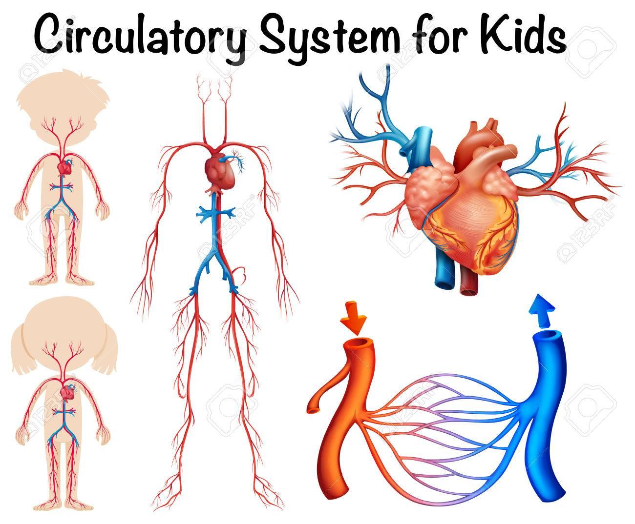 Circulatory system for kids illustration.
